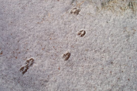 deertracks.jpg