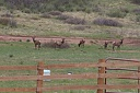 Elk Across the Road