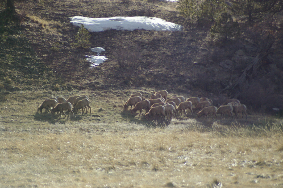 Big_Horn_Sheep.jpg