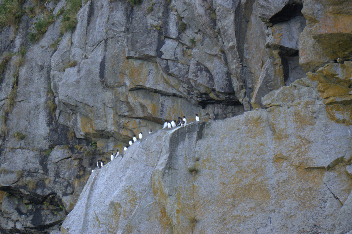 20110730commonmurre.png